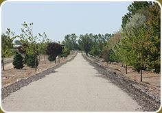 The Stoddard Pathway Shoots Straight Ahead Between Rows of Trees